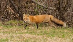 DSC_2113 (Keztik) Tags: wild 3 animal trois three reflex nikon leg fox dslr animaux legged pattes sauvage patte renard d3200
