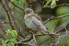 Willow Warbler. (stonefaction) Tags: nature birds scotland fife wildlife willow loch warbler faved lindores