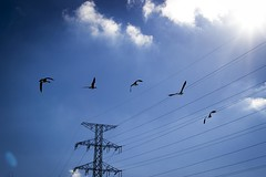 Geese (Nick Dinevski) Tags: blue sky ontario canada birds burlington canon lens flying geese waterfront smith 1855 spencer lakefront t3i smithh