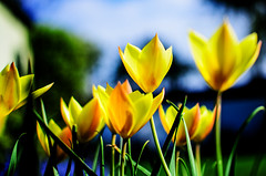 (Damien Cox) Tags: uk plant flower green nature yellow garden petals stem nikon tulips natural damiencox dcoxphotographycom