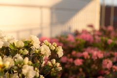 Let the sun in (wenzdan) Tags: flowers light sun berlin spring sundown blossom bokeh balcony rhododendron warmlight roofgarden sigma1835mmf18