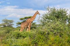 Giraffe at Onguma lodge, Etosha NP (jbdodane) Tags: africa alamy170110 etosha etoshanationalpark gamedrive giraffe lodge namibia onguma freewheelycom jbcyclingafrica bicycle cycletouring cycling cyclotourisme velo alamy