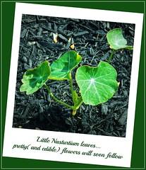 nasturtium leaves (MissyPenny) Tags: flowers green leaves garden edible nasturtiums annuals bristolpennsylvania