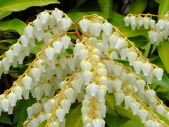 Pieris Japonica (RonG58) Tags: pictures new trip travel flowers winter light plants usa plant flower color macro nature geotagged bota