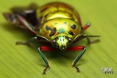 Metallic Shield Bug [Scutelleridae] (cyy4993) Tags: insect shieldbug scutelleridae canoneos6d canonef100mmf28lisusm metallicshieldbug cyy4993