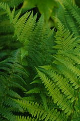 Fougre (Chaufglass) Tags: fern green nature nikon vert fougre nikond5000