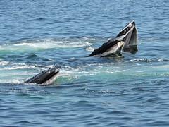 DSCN1272 (aurospio) Tags: offshore massachusetts chatham whales humpback necwa