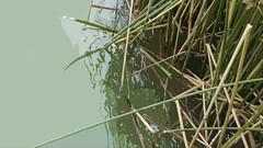 A08860 / lake merced / san francisco, california / with cut out (janeland) Tags: sanfrancisco california urban lake green nature water cutout reeds teal lakemerced 94132
