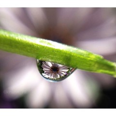 Just hanging out... (Kine H.-N.) Tags: flower macro nature water field closeup mirror dof drop refraction droplet depth