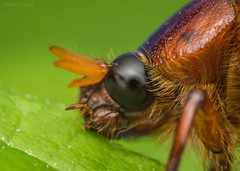 Hungry scarab beetle (Nash Turley's nature photography) Tags: coleoptera scarabaeidae phyllophagasp