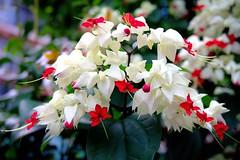 Project 365-351/365 花團錦簇~龍吐珠 Bautiful flowers~Bleeding Glorybower