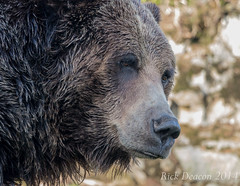Grizzly Bear (Rick Deacon) Tags: bear brown grizzly goldilocks grrrr brownbear grizzlybear