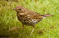 2011-05-20-12-52-22.jpg (martinbrampton) Tags: england bird unitedkingdom wildlife thrush brampton may2011 townfootpark