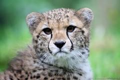 Safi (Brookshaw Photography) Tags: portrait cat zoo cub bigcat cheetah cubs bigcats chesterzoo cheetahcubs