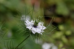 Love- in- a- Mist  (Nigella damascene) (standhisround) Tags: white flower loveinamist nigelladamascene