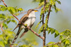 _53F2461 Yellow-billed Cuckoo (~ Michaela Sagatova ~) Tags: dundas yellowbilledcuckoo coccyzusamericanus birdphotography dvca michaelasagatova spring2014