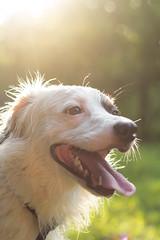 IMG_0120 (c.r.borders) Tags: summer dog bokeh canine aussie australianshepherd warmlight dogphotography