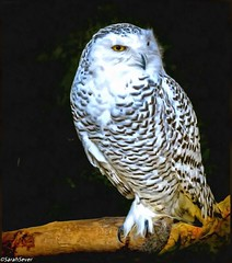 """Goodnight Snowy Owl """"The snowy owl is the official bird of the Canadian province of Quebec. It is also widely sought after by birdwatchers and nature-enthusiasts alike."""" : WIKI #wcs1 #fineart #painterly #paintography #owlsdayeveryday #birds4all #wallartde (WhyCallSarah) Tags: painterly june digital this is snowy fineart 09 goodnight owl photoart wiki paintography 2014 wcs1 wallartdecor 0433am birds4all thesnowyowlistheofficialbirdofthecanadianprovinceofquebecitisalsowidelysoughtafterbybirdwatchersandnatureenthusiastsalike owlsdayeveryday digitalphotoartstartswithaphotowhichismanipulatedandtransformedintoanewimagewiththehelpofdigitaltools"""