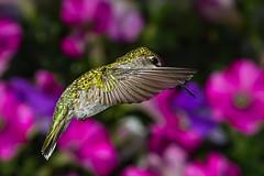"""Hummer...Female (kevinm66 (aka """"The Bird Whisperer"""")) Tags: bird photography kevin wildlife studios adamhall mahoney photolabs kevinmahoney trackhead trackheadstudios kevinm66 kdawgraphy kdawgraphyphotolabs"""