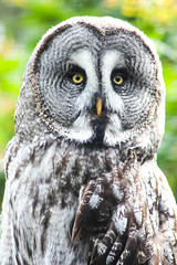 great grey owl (Pushing Pixels) Tags: bird animals grey zoo fly great chester owl