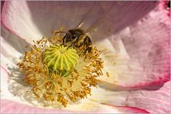 Accro du pavot (Jean G68) Tags: macro bee abeille tamron90mm k3 pavot coquelicots altkirch butineuse