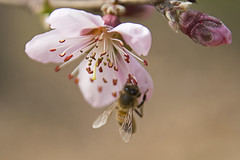 Bee on Plum Blossom(매화와 벌) (Johnnie Shene Photography(Thanks, 2Million+ Views)) Tags: flowers wild plants plant flower colour macro nature horizontal canon bug insect lens outdoors photography eos rebel living dc spring kiss image blossom outdoor wildlife bees blossoms plum sigma insects images bugs bee blossoming 1770 plums t3i x5 organism 꽃 봄 fragility 284 곤충 600d 1770mm 벌 f284 매화 봄꽃
