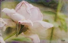 Rosa rosa (Laralucy) Tags: pink flower macro texture closeup nikon bokeh digitalart rosa natura fiore postprocessing elaborazione artdigital magicunicornverybest magicunicornmasterpiece