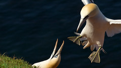 Helgoland, Düne 5 (Borretje76) Tags: beach water strand germany de deutschland grande meer wasser minolta jan sony dune alcatraz 28 135 van gent marino slt fou bassan duitsland janvangent gannet 135mm sula a77 uccello atlantico helgoland gansopatola kuşu شخص طائر بحري 塘鵝 баклан minolta135mm28 طماع 塘鹅 borretje76 basstolpel العامية sümsük الأطيش جشع'