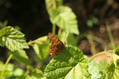 Ragged Guy (gripspix (OFF)) Tags: nature butterfly insect natur insekt ragged comma schmetterling beschdigt cfalter zerlumpt 20140618