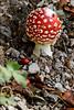 Il fungo matto (Eli Mazzucotelli) Tags: natura rosso fungo matto velenoso