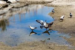 _MG_4907 (MniLimonge) Tags: playa pajaros animales palomas animalesurbanos monicalimonge
