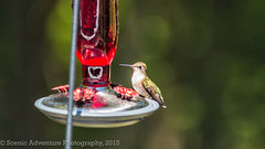 Humming Bird (Southern New England Photography) Tags: summer birds canon hummingbird unitedstates massachusetts newengland northamerica foxboro sigmalens eos70d sigma70200mmf28apoexdghsmos