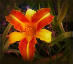 The Missy Lily (MissyPenny) Tags: flowers orange yellow garden daylily buckscounty bristolpennsylvania pdlaich missypenny