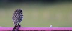 Rien a Droite - La Cheveche d'Athena ou Chouette cheveche (13) - Athene noctua (serguei_30) Tags: bird nature birds canon observation burgundy explorer sigma natura 7d getty soba bourgogne oiseau gettyimages oiseaux explo thecommons chouette gettyimage athenenoctua ornithologie ornitho nivre chevchedathna birdfair theexplorer chouettechevche luthenayuxeloup canon7d sigma150500mm photographefranais nivernaise luthenay oiseaucanon500d lachevchedathna sergueidoublov romandoublet