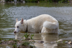 IMG_0278 (w0lfm@n) Tags: blue dog white playing cute puppy michael eyes husky pup siberian samson whitesell