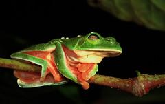 Morelet's Treefrog Sleeping (Xuberant Noodle) Tags: tree forest belize amphibian frog jungle treefrog agalychnis