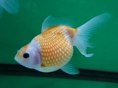 Pealscale Goldfish (#RawNigga Indahouse) Tags: pet home aquarium goldfish hobby fishtank fancy carp ornamental freshwater coldwater fancygoldfish pearlscale