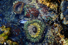 "Sea Anemone • <a style=""font-size:0.8em;"" href=""https://www.flickr.com/photos/58191384@N02/14597337139/"" target=""_blank"">View on Flickr</a>"