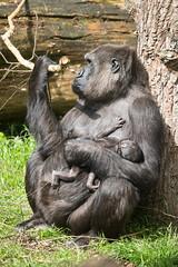 2014-05-30-11h10m42.BL7R8721 (A.J. Haverkamp) Tags: zoo gorilla arnhem thenetherlands burgerszoo dierentuin westernlowlandgorilla shatilla westelijkelaaglandgorilla canonef100400mmf4556lisusmlens httpwwwburgerszoonl dob17041997 pobarnhemthenetherlands dob21052014
