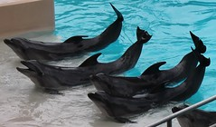 Dolphins at Marineland in Niagara Falls, Ontario (William Wilson 1974) Tags: bear park sea fish ontario canada niagarafalls amusement buffalo dolphin lion deer killer whale carp elk belugawhale bison walrus killerwhale reddeer albinodeer