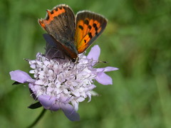 Lycaena phlaeas (Hachimaki123) Tags: plant flower planta animal butterfly insect flor mariposa insecto lycaenaphlaeas
