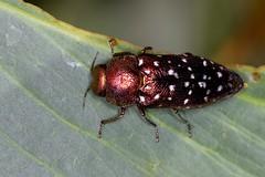 Diphucrania sp (andrewallen9) Tags: jewelbeetle beetle australia diphucrania