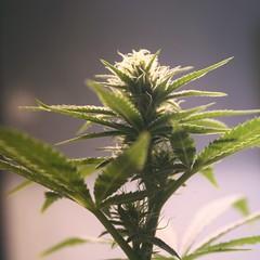 Marijuana (ganjatographer) Tags: cannabis weed marijuana ganja pot indica sativa 420 medical chronic dank alaska legalization
