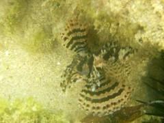 lion fish balangan beach bali 27feb2017e (chrisandrew314) Tags: balangan beach bali indonesia lionfish