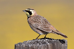 His Favorite Perch, Horned Lark (brad.schram) Tags: lark hornedlark eremophilaalpestris sloco