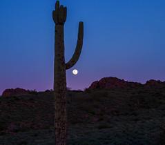 Cactus Moon 1 (azwoogie) Tags: desertscape desertlandscape desert desertflora sonorandesert arizona arizonadesert cactus saguaro saguarocactus sahuaro moon fullmoon superstitionmountains superstions pinalcounty moonrise