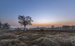 Rockford Dawn (nicklucas2) Tags: newforest rockfordcommon sunrise dawn tree heather gorse landscape mist