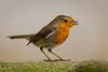 Robin (stevehimages) Tags: steve steveh stevehimages suttoncoldfield wowzers warden west midlands grandpas den grandpasden 2017 bird robin