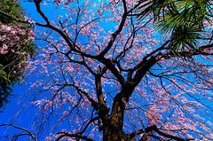 Cherry Blossoms (Weeping Cherry Tree) : シダレザクラ(枝垂桜) (Dakiny) Tags: 2017 spring march japan tokyo arakawa arakawaward nippori nishinipporioutdoor landscape nature field plant tree flower cherry blossom cherryblossoms weepingcherrytree sky blue d7000 sigma 1770mm f284 dc os hsm sigma1770mmf284dcmacrooshsm nikonclubit
