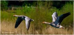 Fly By Your Man (lukiassaikul) Tags: wildlifephotography wildanimals birds wildbirds largebirds goose geese greylaggoose uk fly flight wings birdsinflight urbanwildlife weststow naturereserve